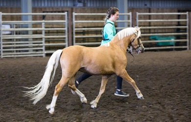 Welsh Mountain Pony 2-year-old colt, Sunburst Heart of Jubilee (Sunwillow Jubilee x Young's Heart Breaker) was the 2017 Supreme Champion Welsh. Shown and owned by Kasandra Miller. Michelle Walerius Photography.